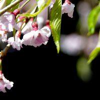 葉桜と新緑